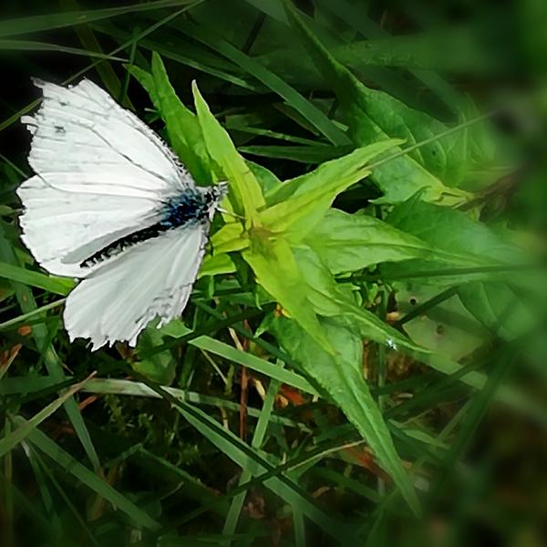 Vacker fjäril som tillslut