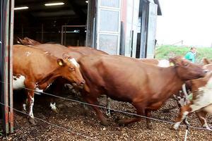 På söndagen var det äntligen dags för Nyväga gårds 145 kor att få springa ut i vårluften.