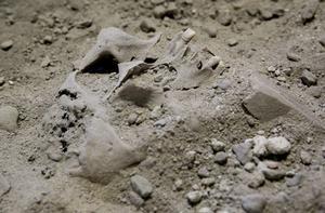 Benrester. De kvarlämningar man fann när stenplattorna nedanför kororgeln togs bort hade begravts utanför S:ta Ragnhilds kyrka, men när den byggdes ut hamnade skeletten under golvet. Arkivfoto: Paola N Andersson