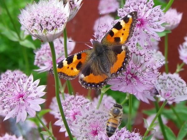 Stjärnflockan är enormt populär bland nässelfjärilarna och här sitter en och njuter...