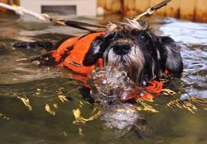 Flytvästen gör att dvärgschnauzen Ebba belastar kroppen minimalt under simträningen. I en minut simmar hon, sedan blir det vila. Allt upprepas tre gånger.