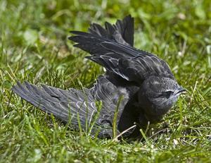 Så här ser en tornseglare ut. Detta är dock inte fågeln i Röste.