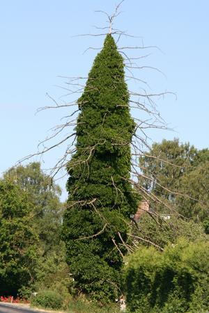 I flera år har man sett hur trädet har kämpat tappert mot murgrönan  som sakta men säkert har kvävt trädet. Bara för ett par år sedan var de översta grenarna liv i.