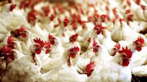 Djurskyddet i Jämtland vill att vi tänker på hur hönorna har det när vi köper ägg till påsk.