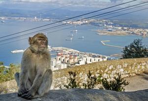 Berberapan eller magoten finns i Gibraltar och är Europas enda vilda apa.   Paula French/Shutterstock.com