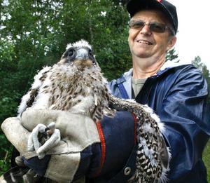 Dags igen. Från utsättningen av pilgrimsfalk i Kilsbergen i juli 2009. Leif Bertilsson håller i en av ungarna.