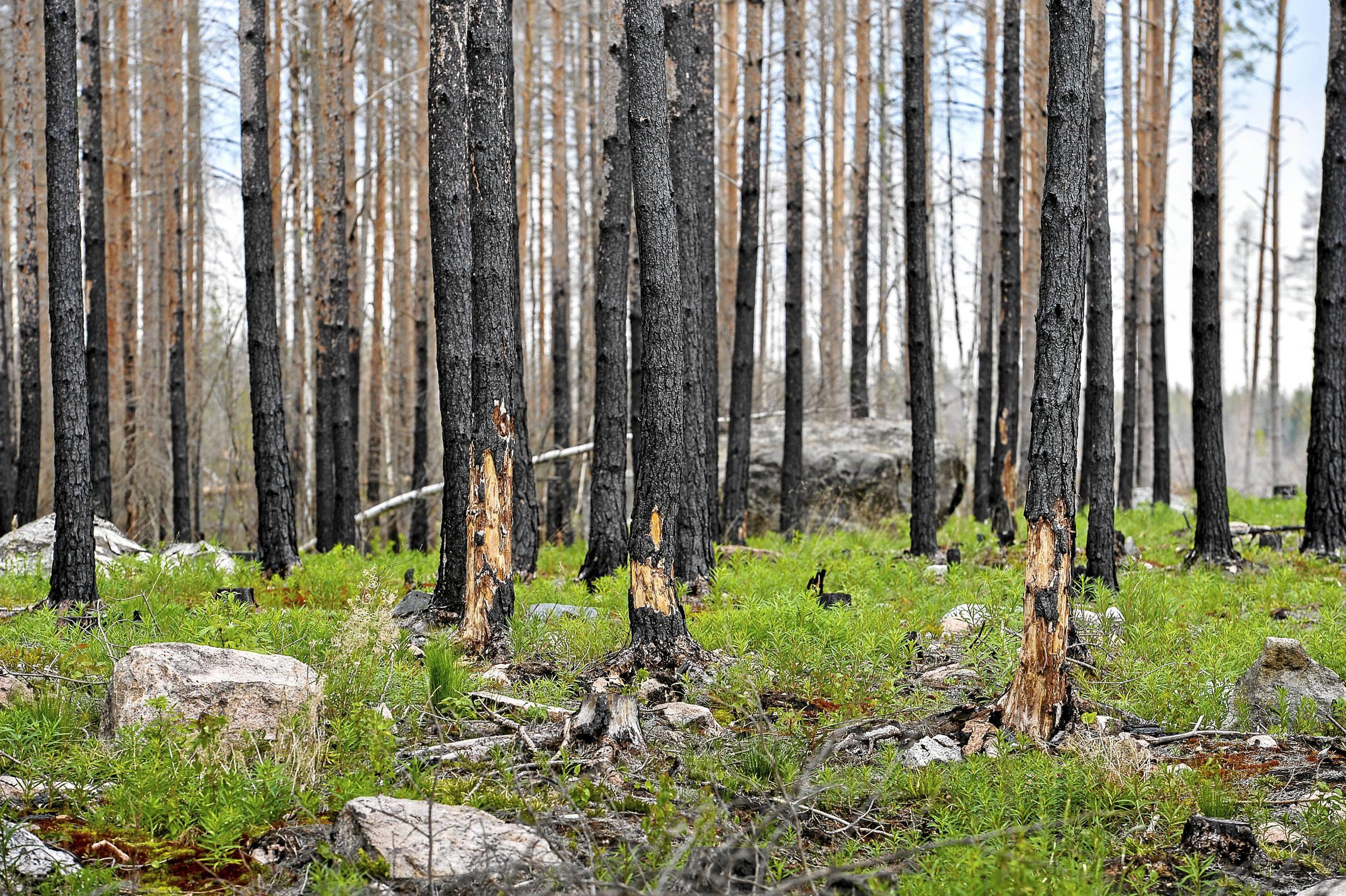 Manader senare nu ar skogsbranden slackt vastmanland