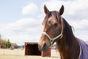 Apollon de Kacy, Jörgen Westholms bästa häst år 2017. Hade i maj kört in över en miljon kronor till stallet.