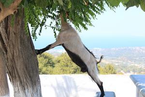 Tänk om man ändå vore en giraff, för då hade man inte behövt sträcka på sig så mycket. Geten gjorde allt för att kunna äta från trädets blad vid kyrkan högst upp i fjärilsdalen på Rhodos.