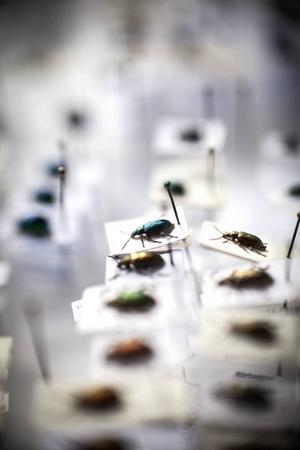 Lars-Olof Grund har en omfattande insektssamling.