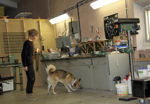 Blandrashunden Ozzy och hundföraren och ägaren Caroline Strömberg deltar i Medelpads första tävling i Nose Work och bland de 16 deltagarna kammade de hem förstapriset.