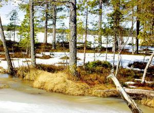 Vårtecknet sädesärlan har anlänt till Mellansvartsjön. Kika noga så upptäcker du den på bilden.