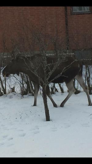 Älgen som jagade en kvinna och en hund på Alnö under fredagen.