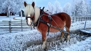 En häst kan sannerligen lysa upp ett vinterlandskap.