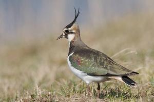 Tofsvipan är en av de fåglar som kommer till våra trakter för att häcka. Lämna en remsa på sidan av åkern så att de har någonstans att lägga sina ägg, uppmanar insändaren.