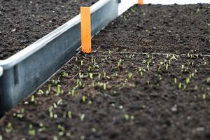 Många som  odlar lök köper sättlök – men man kan lika gärna så själv. De här är salladslök men även vanlig gul och röd lök går att så på samma sätt och ger stora lökar redan samma sommar.