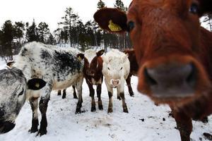Drygt 40 mjölkkor och 56 ungdjur finns på gården i Bruksvallarna.
