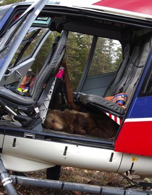 När forskarna gjort sitt blev det en flygtur med helikoptern upp till mamma igen.
