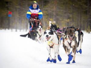 Anders Strid från Jämtland med sina hundar i Nornässkogen och det djupa snötäcket.