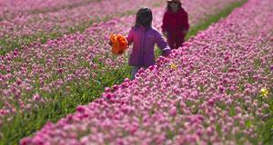 Barn leker bland tulpanerna i norra Holland.