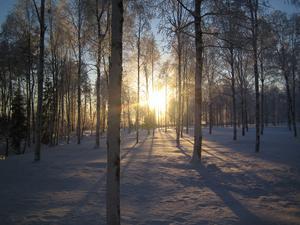 Myrodlingen: Middagssol genom björkskogen på en gammal myrodling vid infarten till Ulriksfors, januari 2009, -25° Foto: Bo-Göran Hedberg