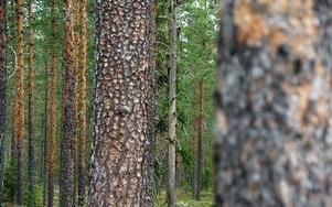 Riksdagsledamöterna fick också besöka Värmderåsen, där Orsa besparingsskog testar nya grepp med avverkning av granskog för att bevara tallen.