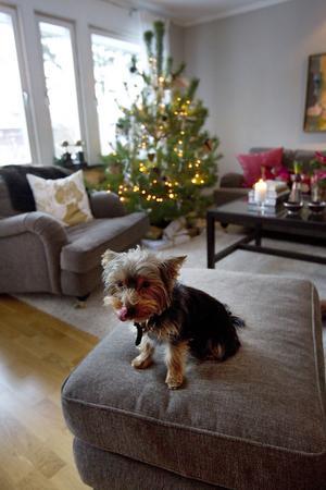 Familjens hund Aron myser i det juldekorerade hemmet.