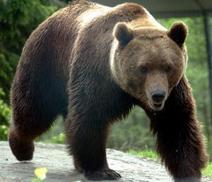 Det finns gott om björn i länet. Spillning har samlats in främst av jägare. Slutsatsen blev att cirka 180 individer i Västernorrlands län. I Myre har man hittat gott om björnbajs.