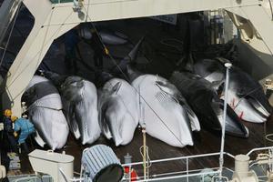 Japanskt fartyg jagar vikvalar mellan Antarktis och Tasmanien.
