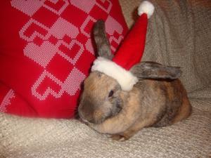Kaninen Nino inväntar julafton i sin tomteluva.