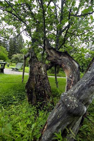 Urgammalt. Gubbäpplet på Stora Hyttnäs planterades på 1600-talet.