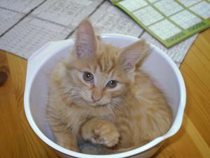 Mysak, 14 veckor, njuter i skålen.Någon nylagad katt blir det inte till middag!
