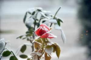 En vacker ros som blev ännu vackrare en frostig tag