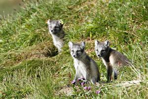 Fjällrävarna i Stekenjokk och Helags stödutfodras av länsstyrelsens naturbevakare.