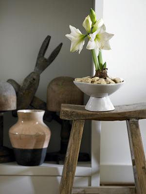 Färg på frammarsch. Vit amaryllis av sorten Green godess. Foto: Blomsterfrämjandet