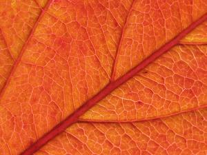 Nu när årstiden är som mörkast och tristas tänkte jag liva upp med ett vackert höstlöv.