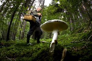 Vit flugsvamp. Herbert antecknar vilka svampar som kommer i hans väg.