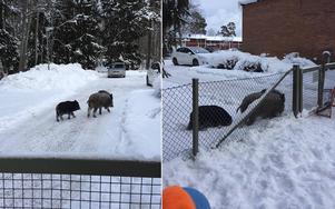 Personalen fotograferade vildsvinen när de var precis vid förskolan.
