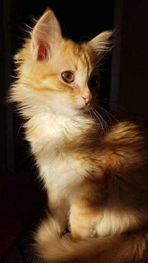 Katten Tiger. Foto:  Kevin Boman