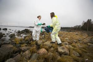 Oljan är tung att hantera. Jonna Eriksson och Sofie Östling samlar ihop den i säckar som sedan hämtas upp med bil eller fyrhjuling.