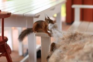 Denna ekorre nallade ull från ett fårskinn hemma hos Ragnar och Margareta Nyberg i Moje, Gagnefs kommun.