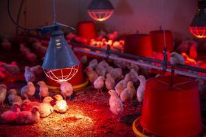 Kycklingarna kläcks inte hos Elin utan hon möter