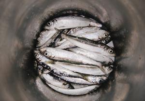 Kommer strömmingen att räcka till för kustfiskarna undrar Centerpartiet i Gävleborg.