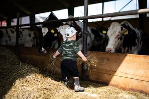 Malte hjälper till och matar de hungriga kossorna.
