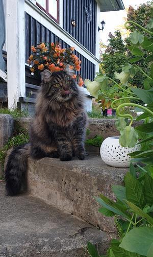 275) Hej!Jag heter Sigge och är en sibirisk katt på 1,5 år. Jag är: social, gosig, busig och älskar att jaga (speciellt fåglar). Min favorit mat är kokt fisk. Då jag är busig kallar matte mig Sigge Bus.Sayonara! Sigge Bus Foto: Carin Wik