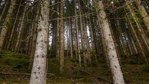 Landets skogsägare är oroliga vad som gäller sedan statliga Skogsstyrelsen och Kammarkollegiet ger helt olika besked om värdet på skog. Foto: Vidar Ruud/TT