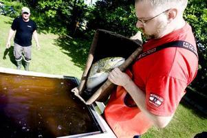 RÄDDAD. Nichlas Dahlén står sist i kedjan och lägger i den fångade fisken i vattentanken på transportbilarna.