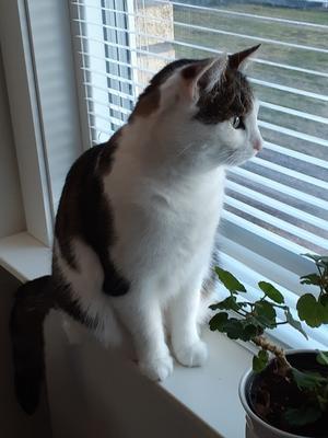 418) Zelda 4,5 år. Hämtad från katthemmet Bill & Bull i maj och är nu en stor glädjekälla för oss. När hon inte är ute är favoritplatsen fönstret i hallen. Foto: Kerstin Mattsson