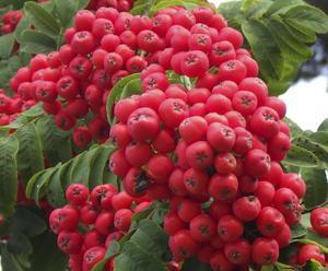 Mycket rönnbär på träden år, som här en stor röd klase, det ser nästan ut som tomater på nära håll.