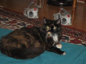 Katten Meg innan försvinnandet. Megs matte ger tips vad som finns att göra om ditt älskade husdjur försvinner.FOTO:  PRIVAT